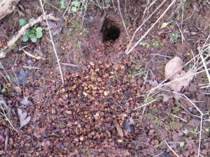 Bank Vole ~ nest entrance
