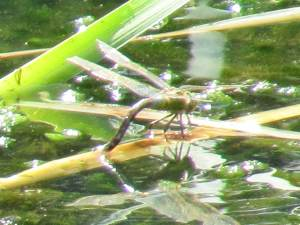Dragonfly (Female ovipositing)