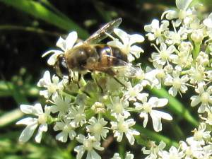 Hover Fly (Eristalis (indeterminate))