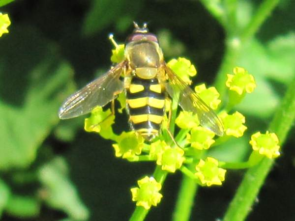 Hoverfly (Syrphus sp.)