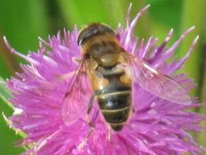 Hoverfly (Eristalis pertinax)