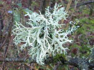 Lichen ~