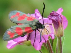 Six-Spot Burnet (Confluent form)