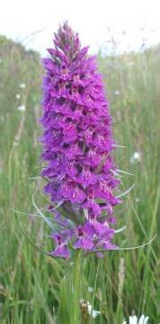 Common Spotted-orchid x