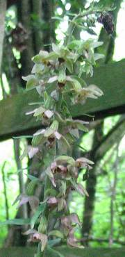 Broad-leaved Helleborine