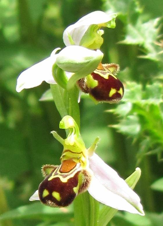 Bee Orchid detail