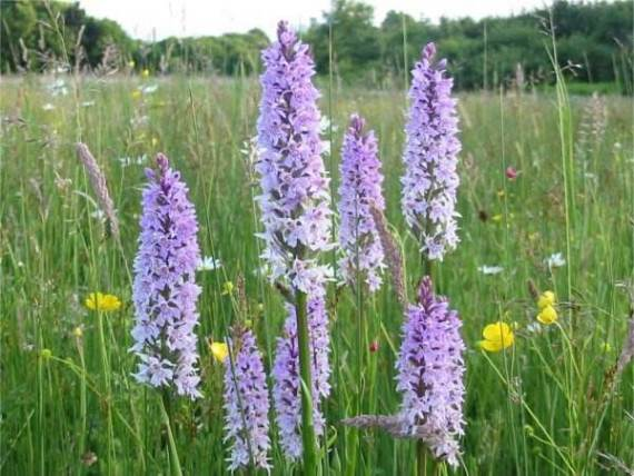 Common Spotted-orchids in flower ~ 13th June