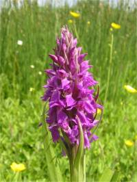 Southern Marsh-orchid detail