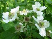 Bramble, Blackberry flower