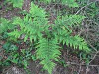 Broad buckler-fern