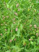Common Persicaria