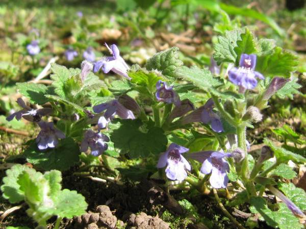 Howardian Local Nature Reserve Ground Ivy
