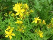 Common/Perforate St John's Wort