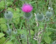 Common, or Spear Thistle