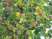 White Bryony fruit