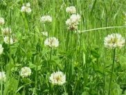 White or Dutch Clover