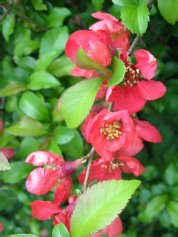 Maule's/Japanese Quince